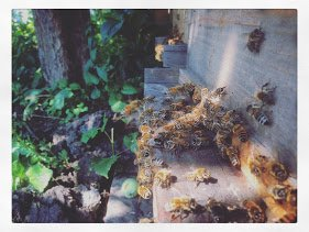 Honeybees flying in and out of the entrance of a Beecentric beehive in Edmonton, Alberta, Canada