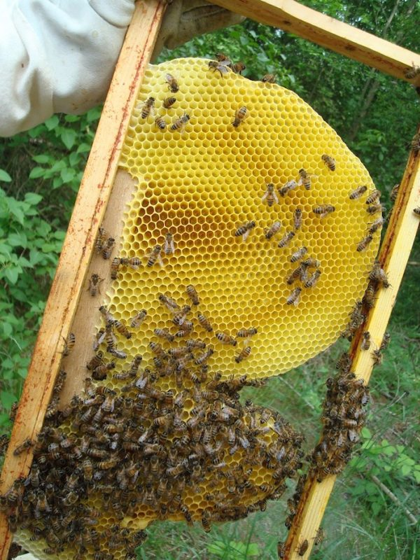 Natural honeycomb, foundationless beekeeping, beecentric hive, langstroth frame